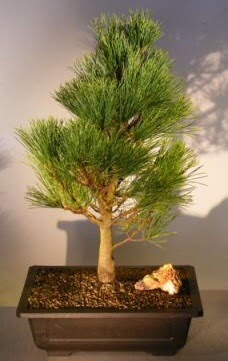 Çam ağacı japon ağacı bitkisi bonsai  Çankırı çiçek servisi , çiçekçi adresleri