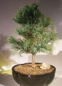 Çam ağacı bonsai bitkisi satışı  Çankırı güvenli kaliteli hızlı çiçek
