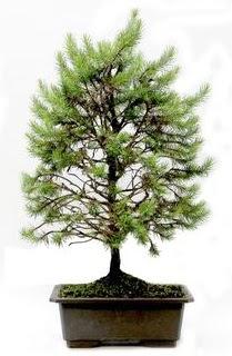 *** STOKTA YOK - Çam ağacı bonsai bitkisi satışı  Çankırı çiçek , çiçekçi , çiçekçilik