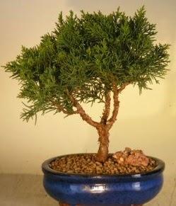 Servi çam bonsai japon ağacı bitkisi  Çankırı hediye sevgilime hediye çiçek