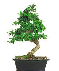 Bonsai bitkisi satışı  Çankırı çiçek servisi , çiçekçi adresleri