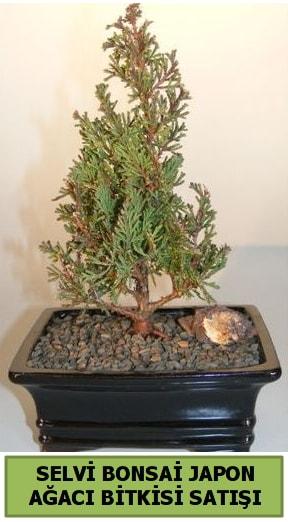 Selvi çam japon ağacı bitkisi bonsai  Çankırı çiçek servisi , çiçekçi adresleri