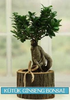 Kütük ağaç içerisinde ginseng bonsai  Çankırı anneler günü çiçek yolla
