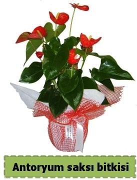 Antoryum saksı bitkisi satışı  Çankırı kaliteli taze ve ucuz çiçekler