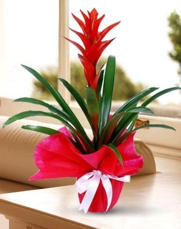 Guzmanya Saksı Çiçeği  Çankırı hediye sevgilime hediye çiçek