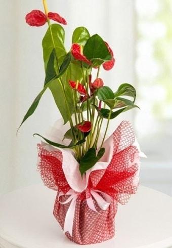 Anthurium Saksı Çiçeği  Çankırı yurtiçi ve yurtdışı çiçek siparişi