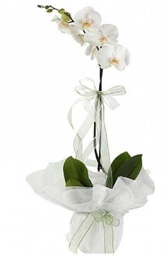 Tekli Beyaz Orkide  Çankırı yurtiçi ve yurtdışı çiçek siparişi