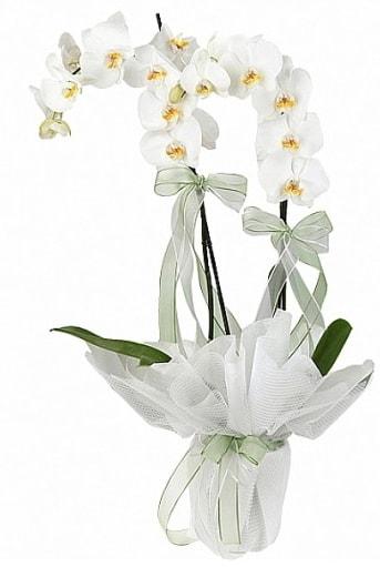 Çift Dallı Beyaz Orkide  Çankırı çiçekçi mağazası