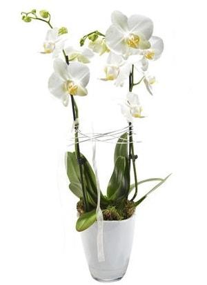 2 dallı beyaz seramik beyaz orkide saksısı  Çankırı anneler günü çiçek yolla