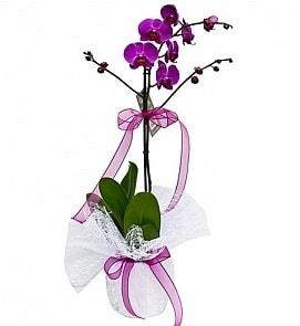 Tek dallı saksıda ithal mor orkide çiçeği  Çankırı çiçek gönderme sitemiz güvenlidir