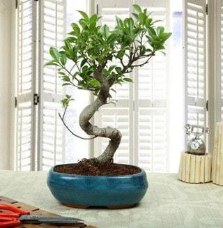 Amazing Bonsai Ficus S İthal  Çankırı çiçek yolla