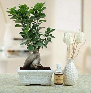 Ginseng ficus bonsai  Çankırı çiçek gönderme sitemiz güvenlidir