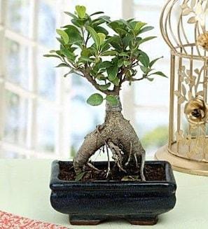 Appealing Ficus Ginseng Bonsai  Çankırı çiçekçi mağazası