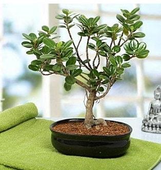 Lovely Ficus Iceland Bonsai  Çankırı çiçekçi mağazası