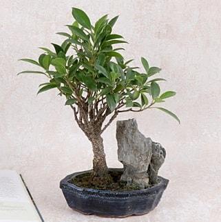 Japon ağacı Evergreen Ficus Bonsai  Çankırı anneler günü çiçek yolla