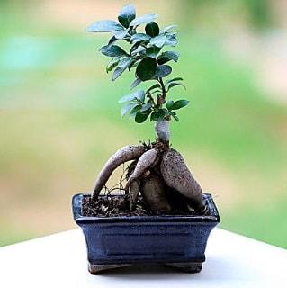 Marvellous Ficus Microcarpa ginseng bonsai  Çankırı çiçek gönderme