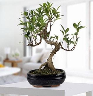 Gorgeous Ficus S shaped japon bonsai  Çankırı cicek , cicekci