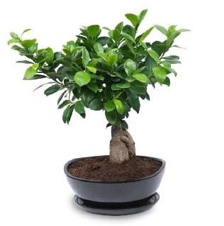 Ginseng bonsai ağacı özel ithal ürün  Çankırı İnternetten çiçek siparişi