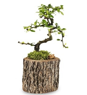 Doğal kütükte S bonsai ağacı  Çankırı çiçek mağazası , çiçekçi adresleri