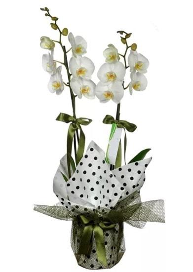 Çift Dallı Beyaz Orkide  Çankırı hediye çiçek yolla