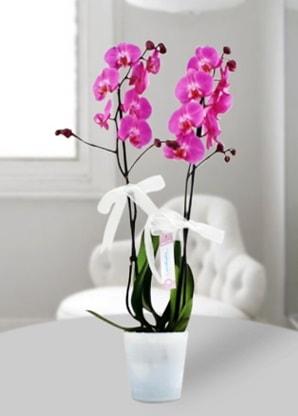 Çift dallı mor orkide  Çankırı çiçek gönderme sitemiz güvenlidir