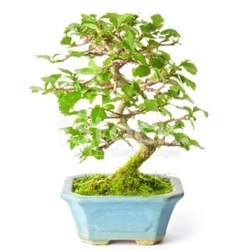 S zerkova bonsai kısa süreliğine  Çankırı 14 şubat sevgililer günü çiçek