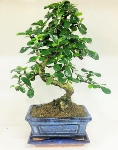 S Bonsai japon ağacı bitkisi  Çankırı ucuz çiçek gönder