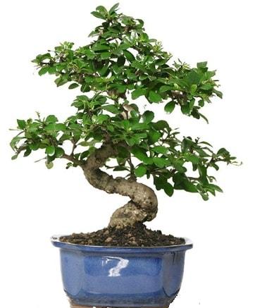 21 ile 25 cm arası özel S bonsai japon ağacı  Çankırı çiçek servisi , çiçekçi adresleri
