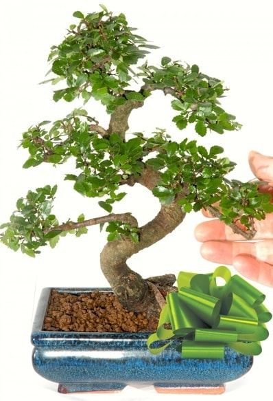 Yaklaşık 25 cm boyutlarında S bonsai  Çankırı çiçek yolla , çiçek gönder , çiçekçi