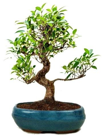 25 cm ile 30 cm aralığında Ficus S bonsai  Çankırı anneler günü çiçek yolla