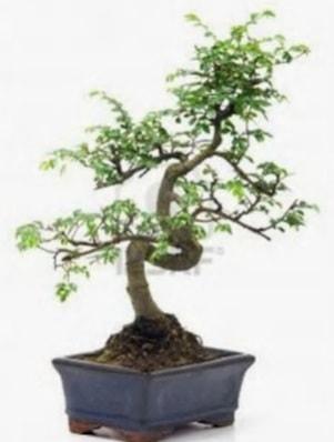 S gövde bonsai minyatür ağaç japon ağacı  Çankırı çiçek mağazası , çiçekçi adresleri