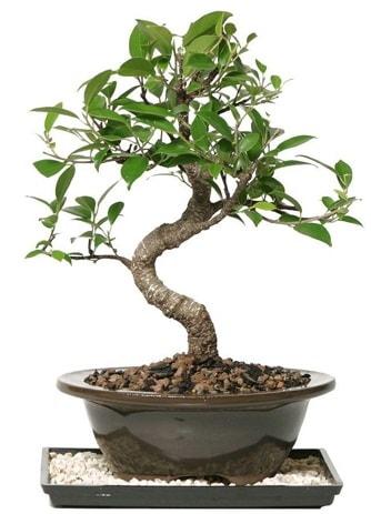 Altın kalite Ficus S bonsai  Çankırı çiçek servisi , çiçekçi adresleri  Süper Kalite