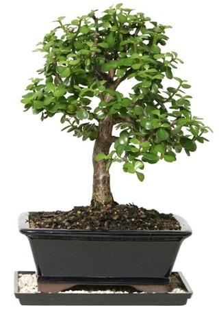 15 cm civarı Zerkova bonsai bitkisi  Çankırı çiçek yolla , çiçek gönder , çiçekçi