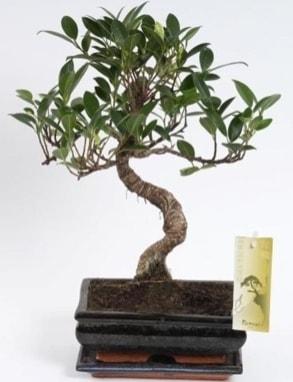 Ficus muhteşem gold kalite 25 cm civarı bonsai