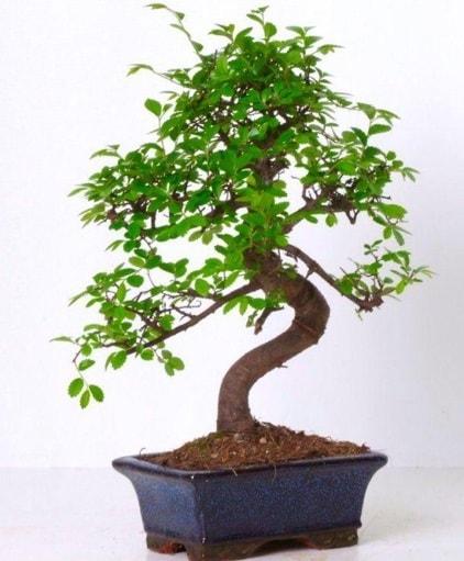 S gövdeli bonsai minyatür ağaç japon ağacı  Çankırı anneler günü çiçek yolla