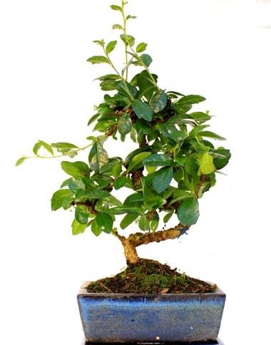 S gövdeli carmina bonsai ağacı  Çankırı hediye sevgilime hediye çiçek  Minyatür ağaç