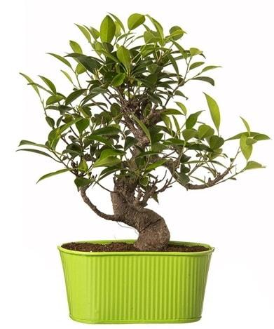Ficus S gövdeli muhteşem bonsai  Çankırı çiçek yolla , çiçek gönder , çiçekçi