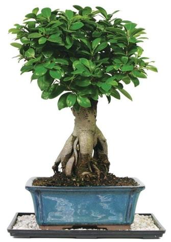 Bonsai Ginsing Grafted Ficus Bonsai  Çankırı hediye sevgilime hediye çiçek