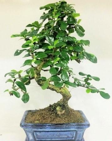 Zelkova S gövdeli Minyatür ağaç Bonzai  Çankırı çiçek online çiçek siparişi