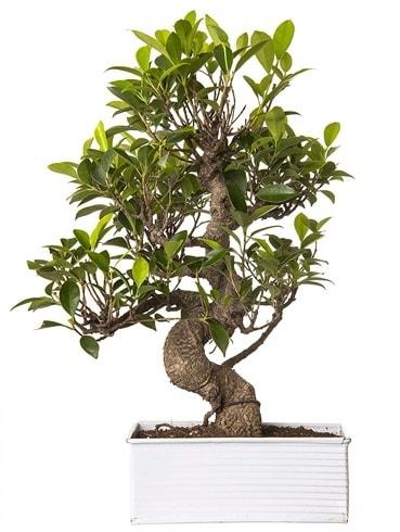 Exotic Green S Gövde 6 Year Ficus Bonsai  Çankırı anneler günü çiçek yolla
