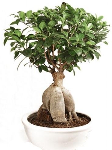 Ginseng bonsai japon ağacı ficus ginseng  Çankırı 14 şubat sevgililer günü çiçek